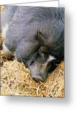 Sleeping Sow Greeting Card