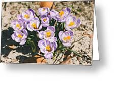 Small Crocus Flower Field Greeting Card