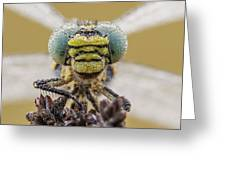 Small Pincertail Greeting Card