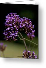 Small Purple Flowers On A Verbena Plant Greeting Card