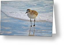 Small Sandpiper Greeting Card