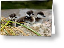 Smew Ducklings On Shore Greeting Card