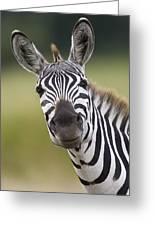 Smiling Burchells Zebra Greeting Card