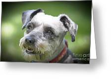 Smiling Schnauzer Greeting Card
