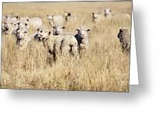 Smiling Sheep Greeting Card