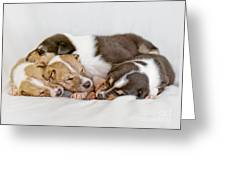 Smooth Collie Puppies Taking A Nap Greeting Card