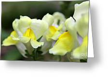 Snapdragons Group Of Yellow Cream Greeting Card