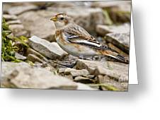 Snow Bunting Pictures 43 Greeting Card