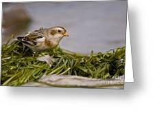 Snow Bunting Pictures 87 Greeting Card