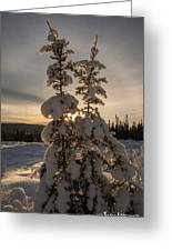 Snow Capped Sitka Spruce Greeting Card