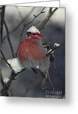 Snow Covered Pine Grosbeak Greeting Card