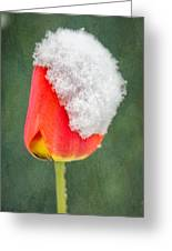 Snow Covered Tulip Greeting Card
