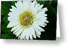 Snow Daisy Greeting Card by Sarah E Kohara