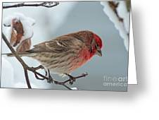 Snow Day Housefinch  Greeting Card