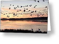 Snow Geese At Chincoteague Last Flight Of The Day Greeting Card