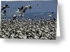 Snow Geese At Skagit Greeting Card