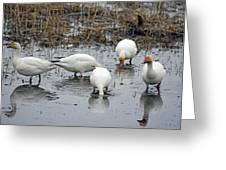 Snow Geese Muddy Waters Greeting Card