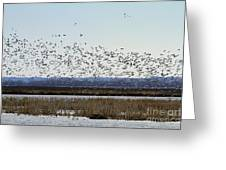 Snow Geese Taking Off At  Loess Bluffs National Wildlife Refuge Greeting Card