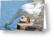 Snow Goose 2 Greeting Card