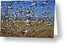 Snow Goose Flock Taking Off Greeting Card