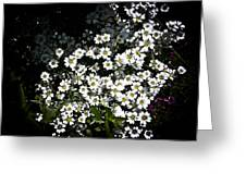 Snow In Summer Greeting Card