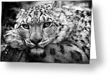 Snow Leopard In Black And White Greeting Card