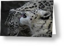 Snow Leopards Greeting Card