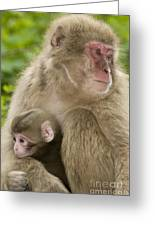Snow Monkeys, Mother With Her Baby Greeting Card