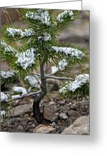 Snow On Baby Pine Tree In Yellowstone Greeting Card