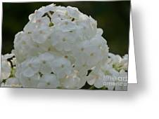 Snow Phlox Greeting Card