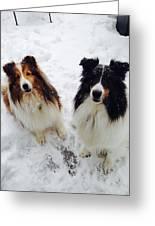 Snow Shelties Greeting Card