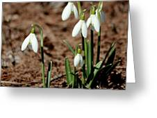 Snowdrops In The Spring Greeting Card
