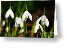 Snowdrops Greeting Card