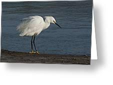 snowey Egret by Water's Edge Greeting Card