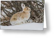 Snowshoe Hare Greeting Card