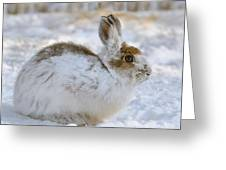 Snowshoe Hare In Winter Greeting Card