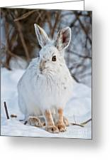 Snowshoe Hare Pictures 130 Greeting Card