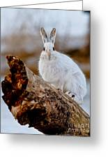 Snowshoe Hare Pictures 131 Greeting Card
