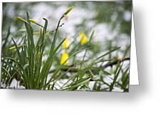Snowy Daffodils Greeting Card