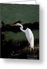 Great Egret Monterey Bay California  By Pat Hathaway Greeting Card