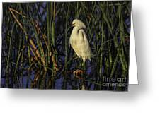 Snowy Egret In The Reeds Greeting Card