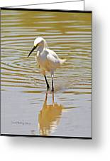 Snowy Egret Looking For Fish Greeting Card