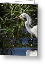 Snowy Egret Stalking Greeting Card