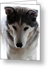Snowy Husky Nanuk Greeting Card by Marjorie Imbeau