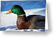 Snowy Mallard Greeting Card
