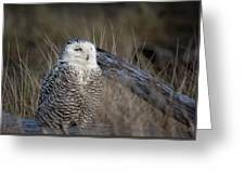 Snowy Owl 2 Greeting Card