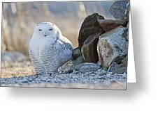 Snowy Owl Among The Rocks Greeting Card