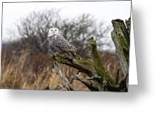 Snowy Owl At Boundary Bay  Greeting Card