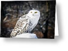 Snowy Owl Cold Stare Greeting Card