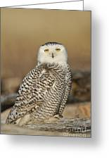 Snowy Owl Female Greeting Card